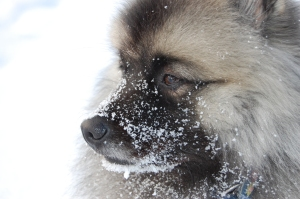 Silva med snö på nosen