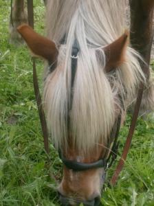 Betande kallblodshäst iklädd körträns.