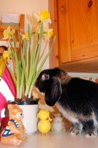 Kaninen Jumjum bland påskprydnader och påskliljor.