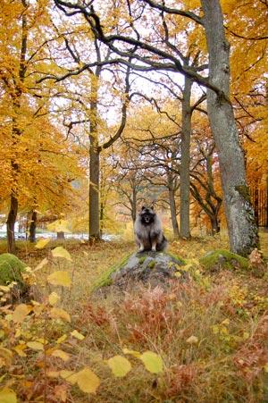 Silva på sten med höstfärgade träd omkring