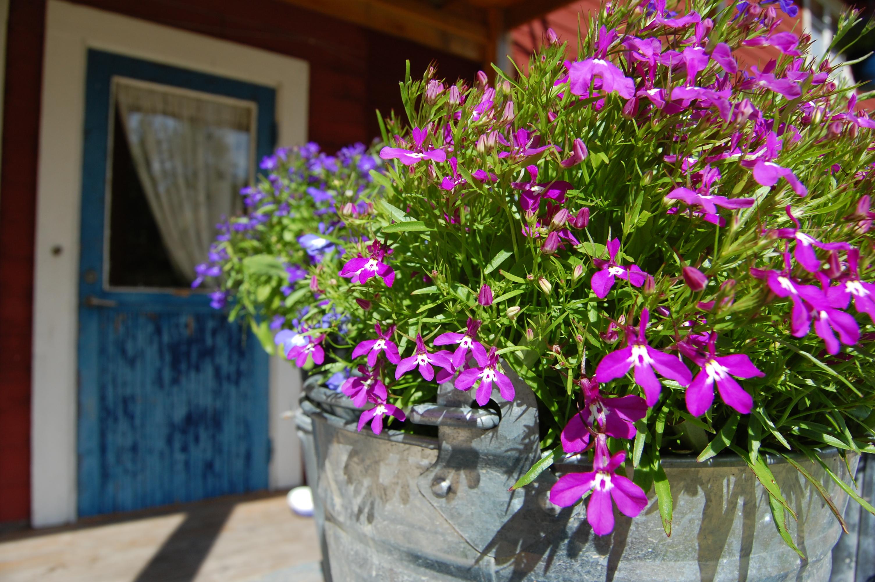 Blå ytterdörr med blommor i förgrunden.