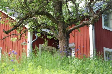 Röd stuga med äppelträd och akleja framför.