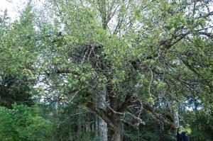 Risigt äppelträd med snårig krona